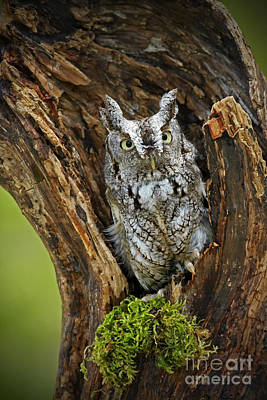 Daybreak - Eastern Screech Owl Art Print by Inspired Nature Photography Fine Art Photography