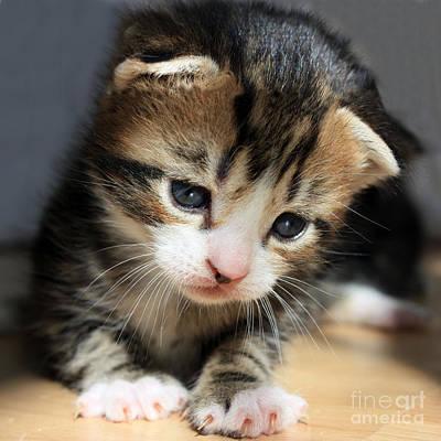 Kitten Photograph - Daydreamer Kitten by Terri Waters