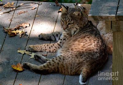 Whiteoaks Photograph - Daydreaming Bobcat by Eva Thomas