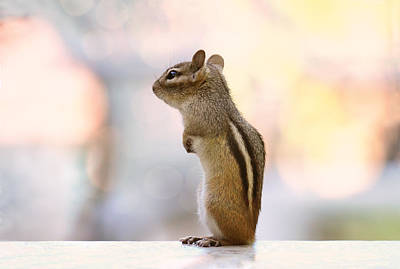 Squirrel Photograph - Daydreaming Chipmunk by Peggy Collins