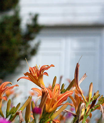 Photograph - Daylilies At The Door by Erin Kohlenberg