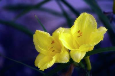 Daylily Wall Art - Photograph - Daylilies (hemerocallis Hybrid) by Maria Mosolova/science Photo Library
