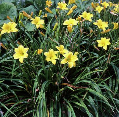 Daylily Wall Art - Photograph - Daylilies (hemerocallis 'jake Russell') by Neil Joy/science Photo Library