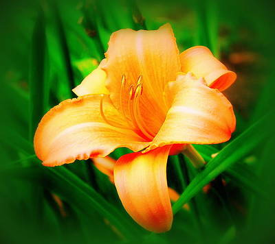 Photograph - Daylilly by Mary Beth Landis
