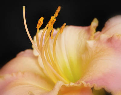 Photograph - Daylily by David and Carol Kelly