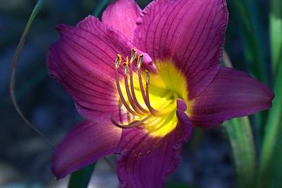Photograph - Daylily by Edward Hamilton