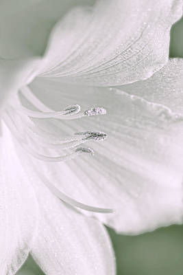 Photograph - White Daylily Flower Soft Green by Jennie Marie Schell