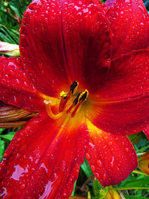Photograph - Daylily In The Rain - Fiery Red by Shawna Rowe