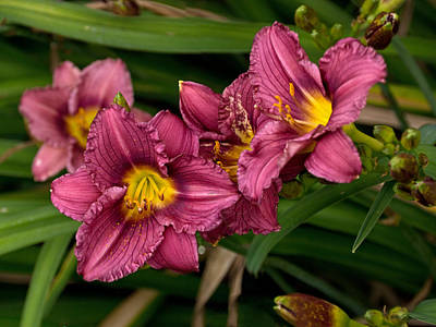 Photograph - Daylily Profusion by Theo OConnor