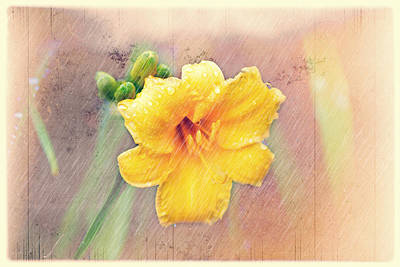 Daylily  Showers Art Print by Mary Timman
