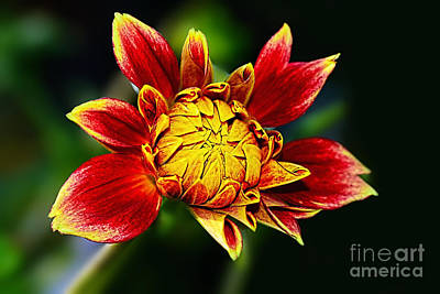 Photograph - Dazzling Dahlia Bud By Kaye Menner by Kaye Menner