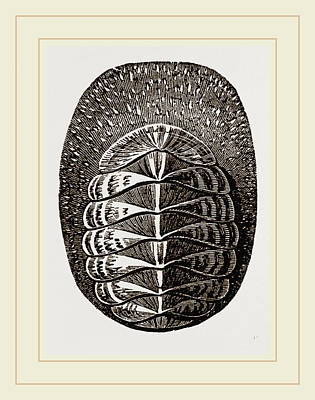Biological Drawing - De Blainvilles Chiton by Litz Collection