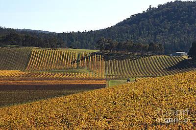 golden vines-Victoria-Australia Art Print