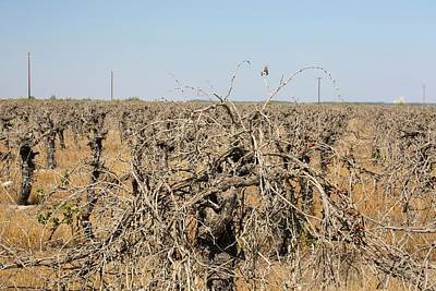 Vines Photograph - Dead And Dying Grape Vines by Ashley Cooper