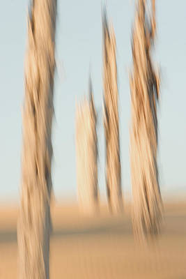 Photograph - Dead Conifer Trees In Sand Dunes by Phil Schermeister