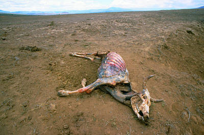 Drought Wall Art - Photograph - Dead Cow During Drought In Kenya by Martin Dohrn/science Photo Library