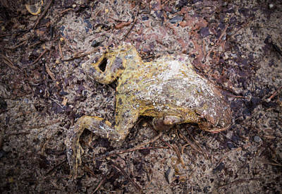 Frog Photograph - Dead Frog by Matthias Hauser