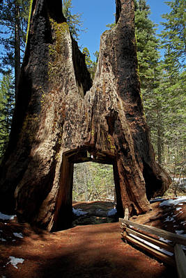 Dead Giant Tunnel Tree, Tuolumne Grove Art Print
