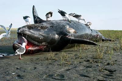 Carcass Photograph - Dead Grey Whale Calf On Beach by Christopher Swann