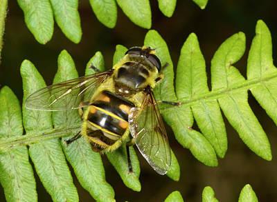 Hoverfly Wall Art - Photograph - Dead Head Fly Myathropa Florae by Nigel Downer