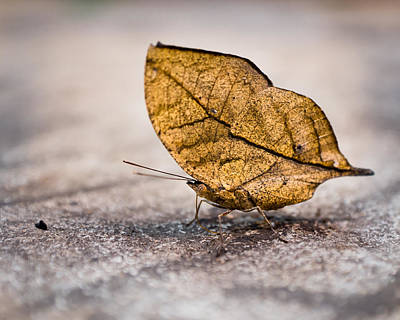 Photograph - Dead Leaf Butterfly by Bill Pevlor