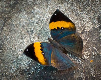 Photograph - Dead Leaf Butterfly - Open by Bill Pevlor