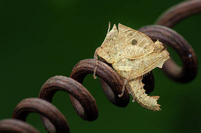 Tendrils Photograph - Dead Leaf Grasshopper Nymph by Melvyn Yeo