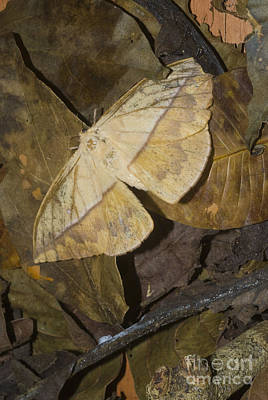 Dead Leaf Moth Art Print by William H. Mullins