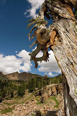 Snag Photograph - Dead Limber Pine (pinus Flexilis by Howie Garber