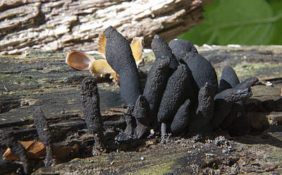 Photograph - Dead Man's Fingers by Bob Kemp