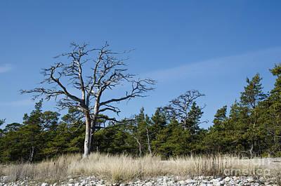 Photograph - Dead Old Pine Tree by Kennerth and Birgitta Kullman