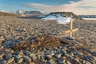 Social Issues Photograph - Dead Seal On Breidamerkursandur by Panoramic Images