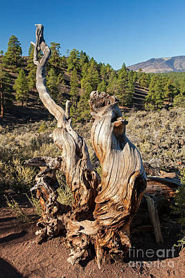 Photograph - Dead Tree In Sunset Crater Volcano National Monument by Fred Stearns