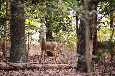Photograph - Deer At James Farm Ecological Preserve 2 - Delaware by Kim Bemis