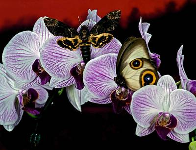 Death Heads Moth Meets Silky Owl Butterfly On Orchid Flower Art Print by Leslie Crotty