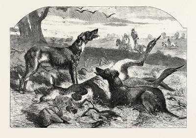 Kangaroo Drawing - Death Of A Red Forester Or Old Man Kangaroo by English School