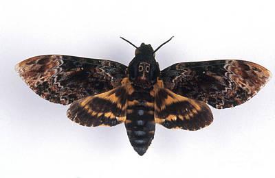 Deaths Head Hawk Moth Art Print by Barbara Strnadova