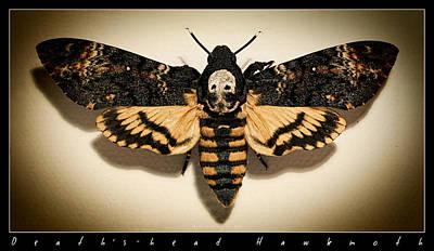 Photograph - Deaths Head Hawk Moth Framed Version by Weston Westmoreland