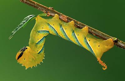 Photograph - Deaths Head Hawk Moth  by Ingo Arndt