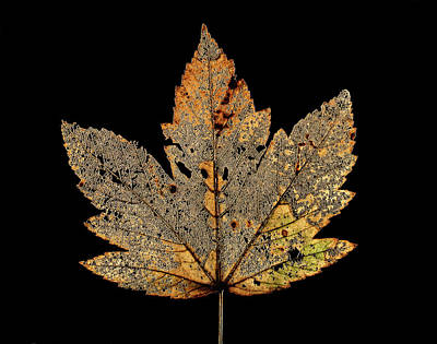 Norway Photograph - Decayed Norway Maple Leaf by Gilles Mermet