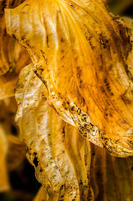Photograph - Decaying Hosta Leaves by  Onyonet  Photo Studios