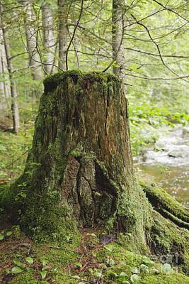 Decaying Tree Stump - White Mountains New Hampshire  Art Print