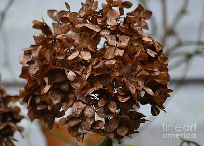 Photograph - December Hydrangea by Maria Urso