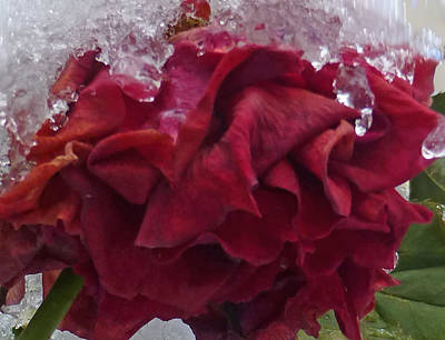 Photograph - December's Rose by Claudia Goodell