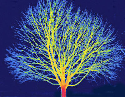 Outoors Photograph - Deciduous Tree During Winter, Thermogram by Science Stock Photography