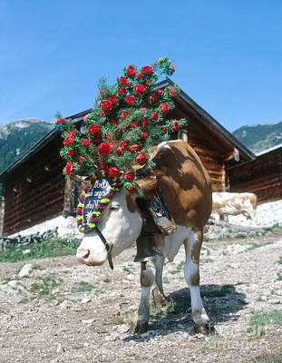 Bos Bos Photograph - Decorated Cow by Hans Reinhard