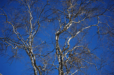 Photograph - Deep Blue Sky And Birch Tree by Jenny Rainbow