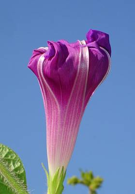 Photograph - Deep Magenta Morning Glory Flower Bud Against Sky by Tracey Harrington-Simpson