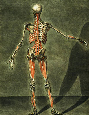 Human Skeleton Painting - Deep Muscular System Of The Back by Arnauld Eloi Gautier D'Agoty