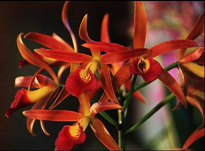 Photograph - Deep Orange Orchids by Michael Saunders